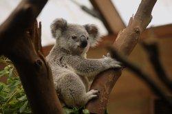 koala-2914975__340