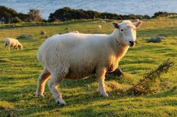 sheep-2524060__340