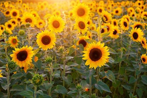 sunflower-3550693__340.jpg