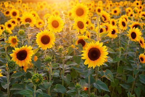 sunflower-3550693__340.jpg
